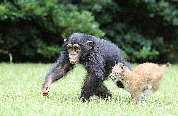 美国动物园猞猁与黑猩猩成伙伴形影不离
