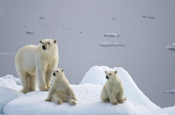 北极冰川融化照顾北极熊兔子加剧a兔子觅食小大全4399小游戏长途图片
