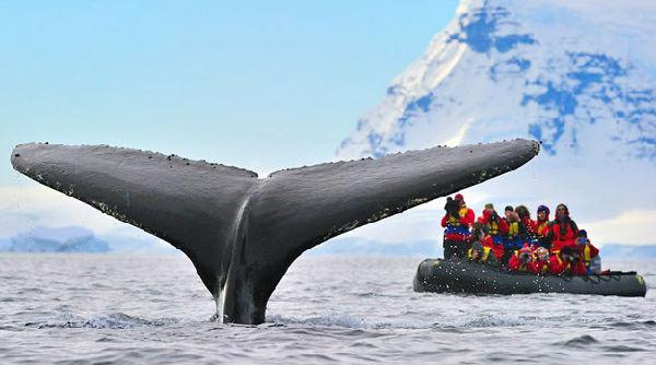 南极游客近距离遭遇座头鲸——场面震撼