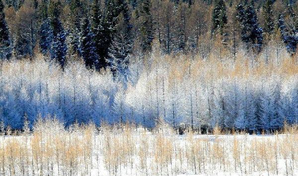 大雪后天山脚下的松林 美丽的雾凇景观